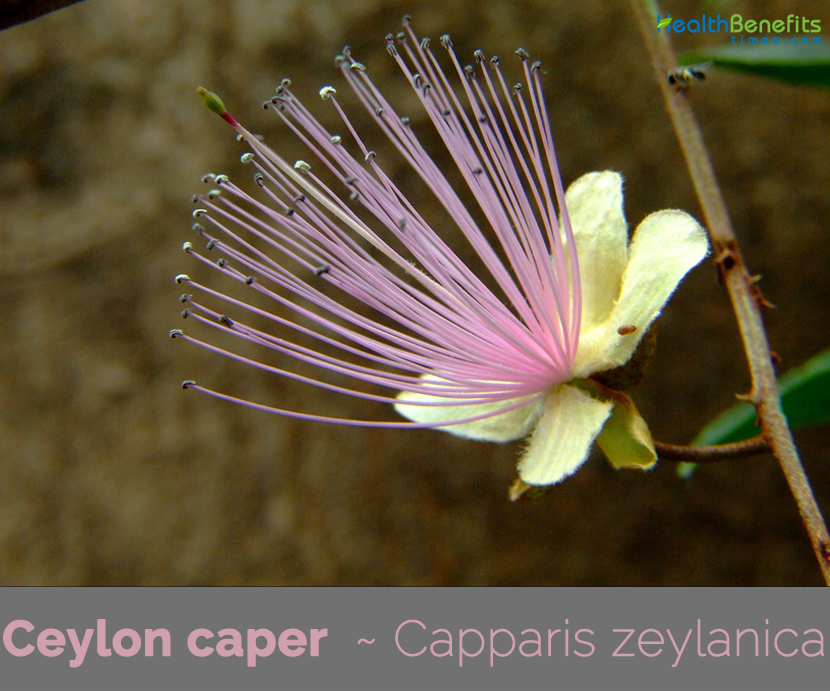 Facts-about-Ceylon-caper