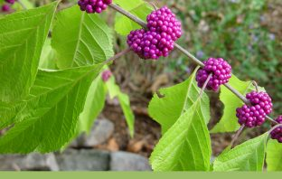 Facts about French Mulberry