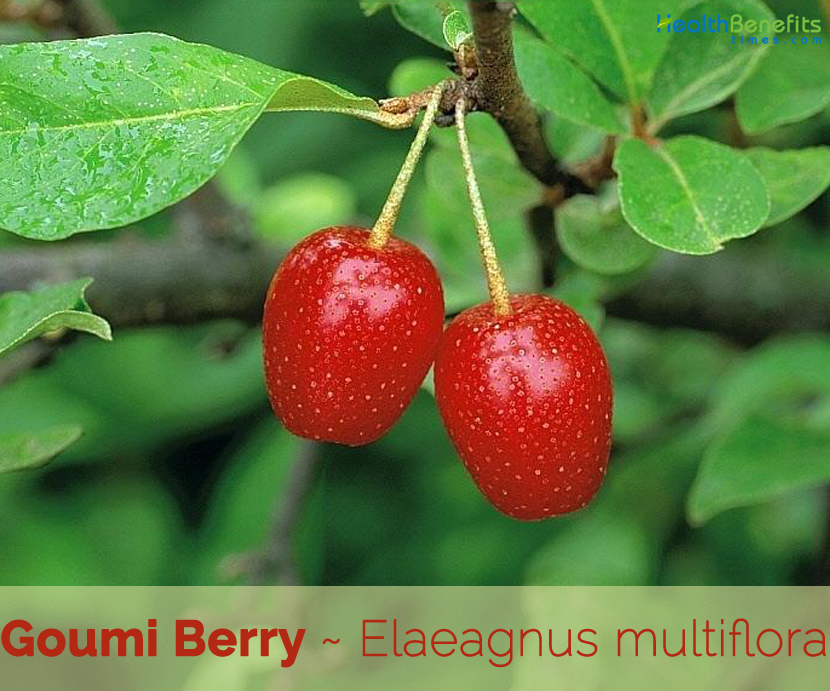 Facts about Goumi Berry