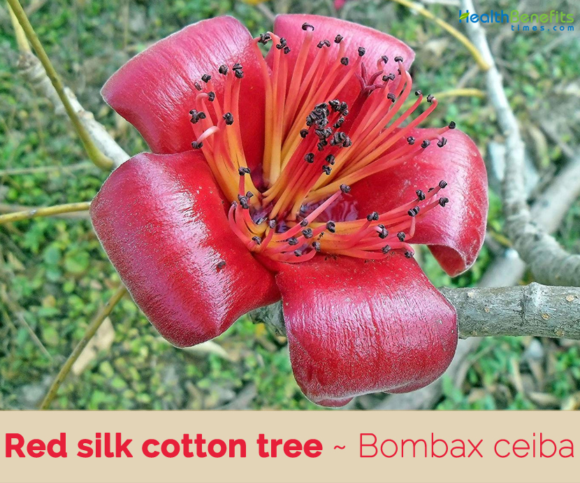Facts about Red silk cotton tree (Indian cottonwood)