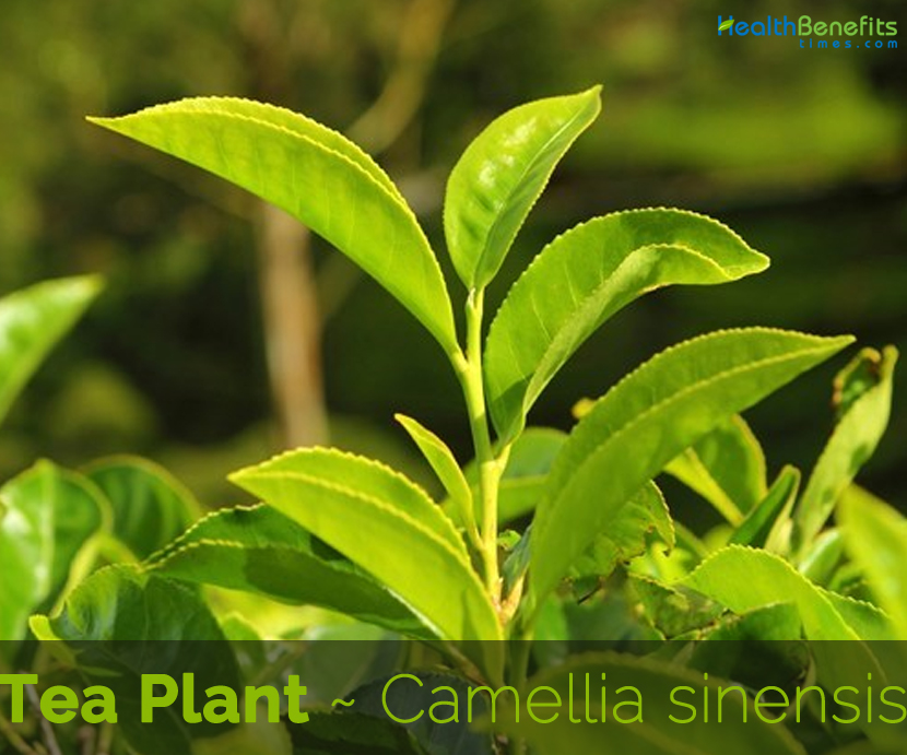 Facts about Tea Plant