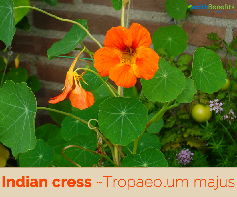 Health benefits of Indian Cress