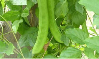 Health-benefits-of-Jack-bean