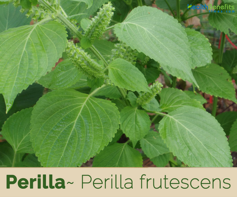 Health benefits of Perilla