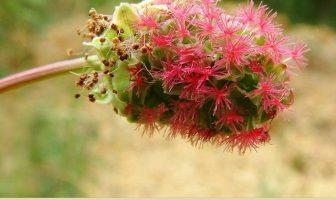 Health Benefits of Salad Burnet