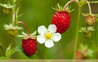 Health benefits of Wild Strawberry