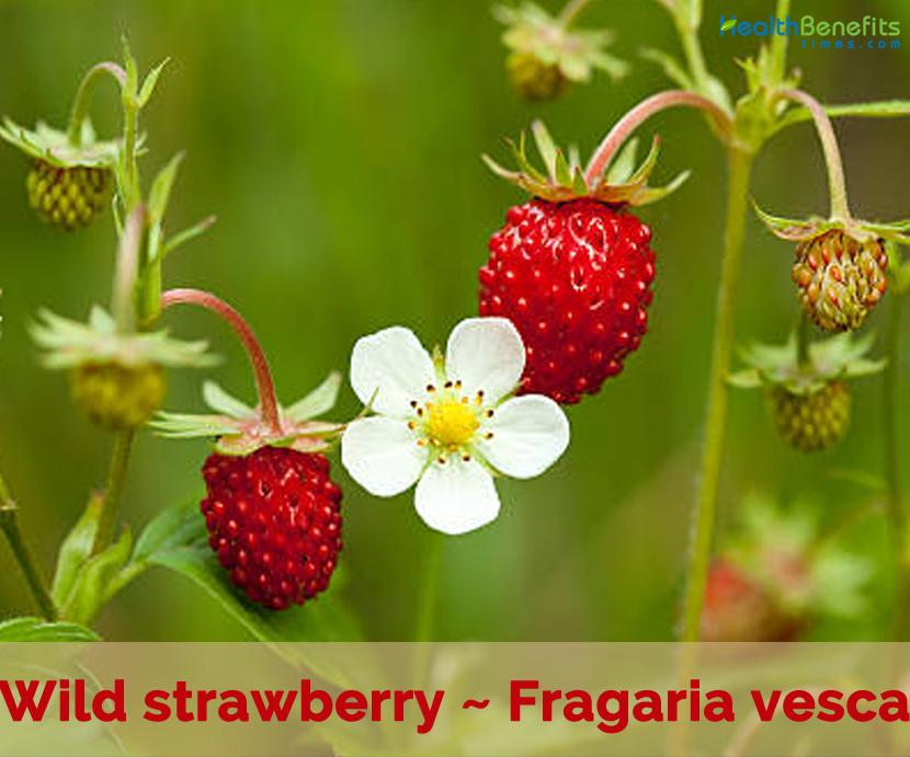 Health benefits of Wild Strawberry
