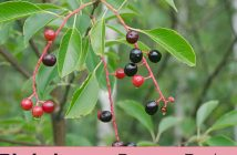 Facts-about-Bird-cherry