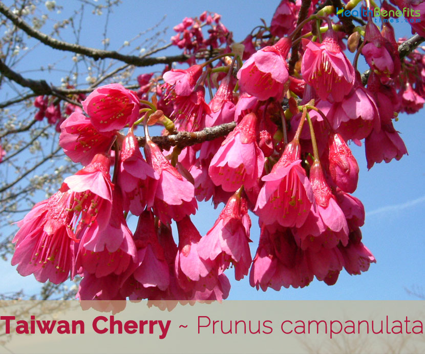 Taiwan Cherry Facts And Health Benefits