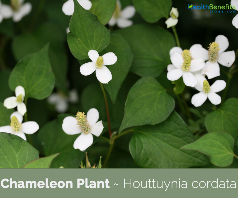 Health benefits of Chameleon Plant