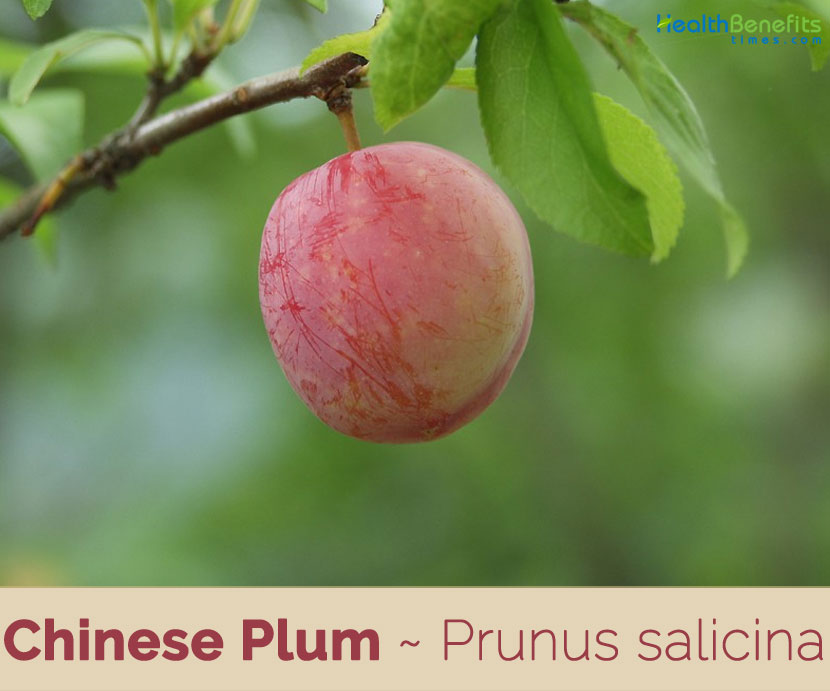 Chinese Plum Facts And Health Benefits