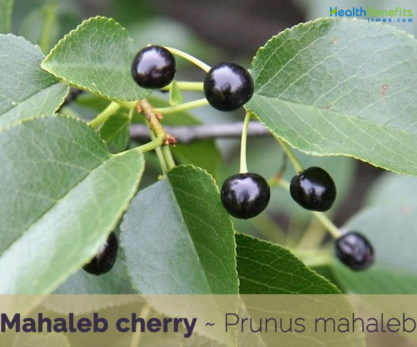 Health-benefits-of-Mahaleb-cherry