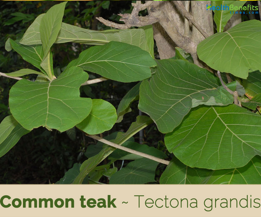Common Teak Facts And Health Benefits