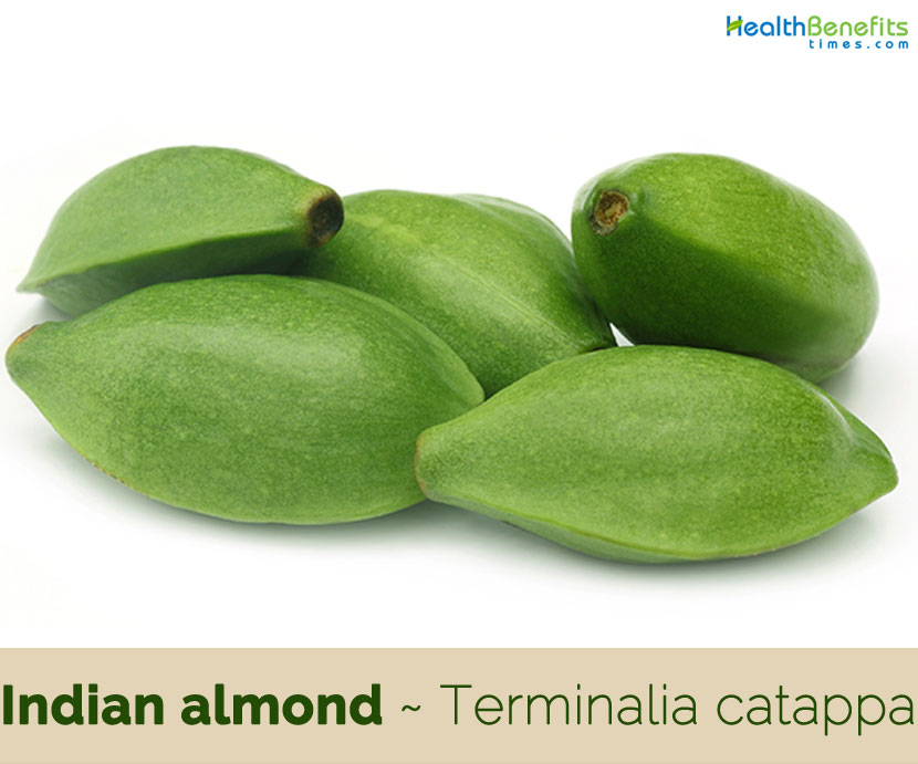 Indian almond facts and health benefits