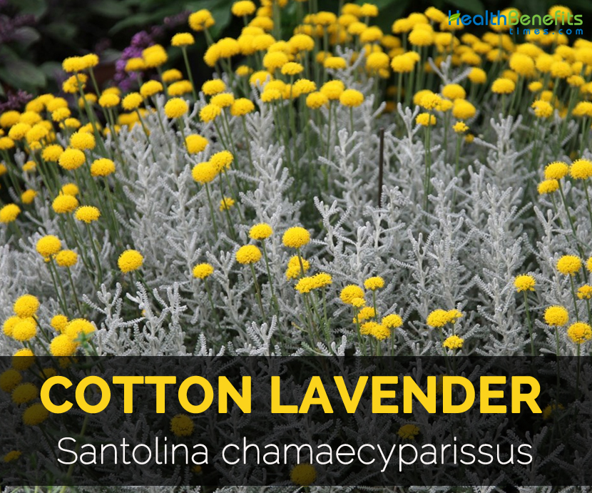 Cotton Lavender Facts And Health Benefits
