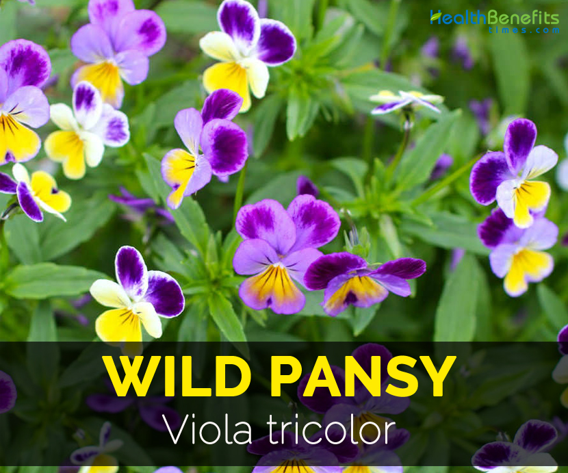 Wild Pansy Facts And Health Benefits