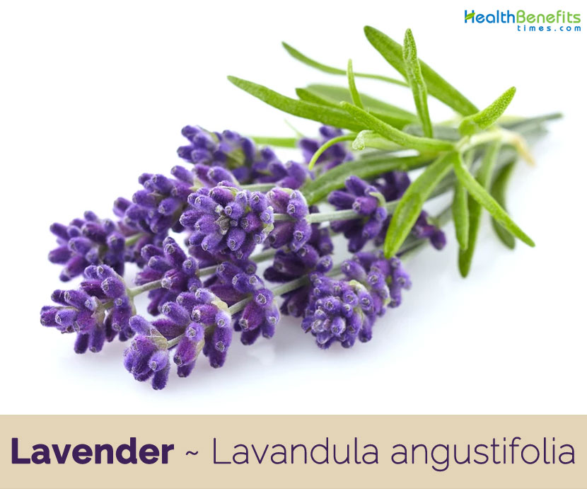 Lavender Facts And Health Benefits