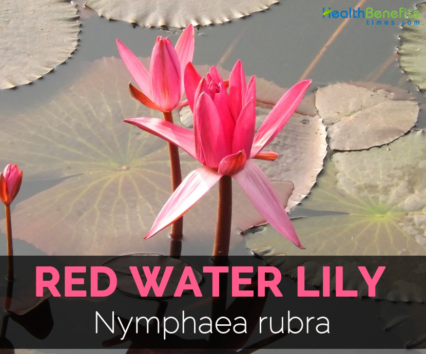 Origami Water Lily | Easy origami flower, Origami lily, Lotus origami | 691x830