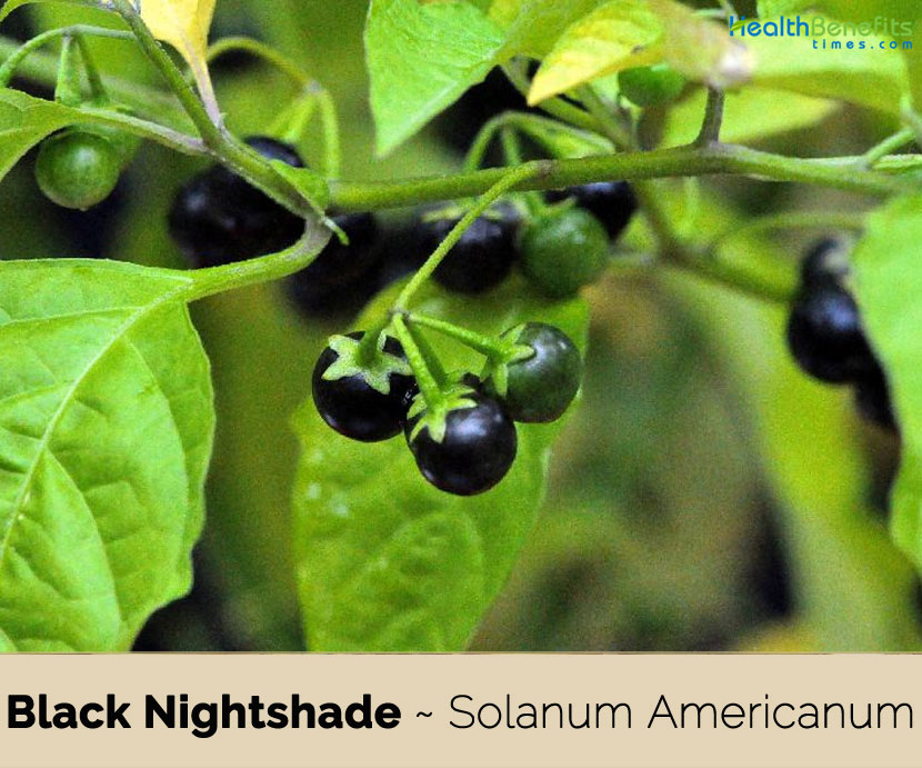 Black Nightshade Facts And Health Benefits