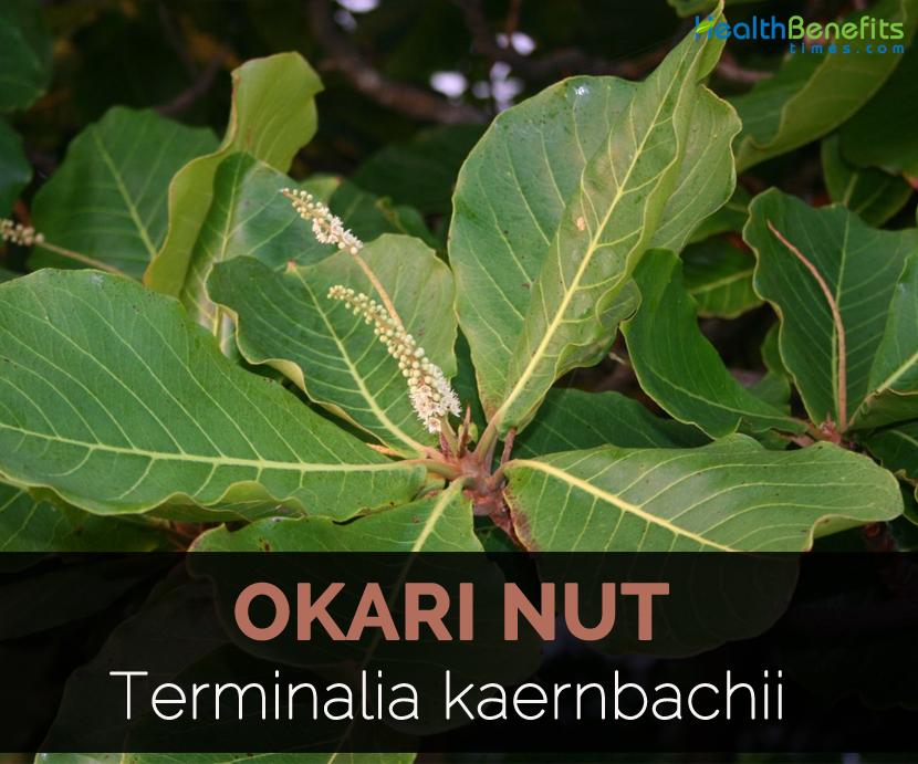 Okari Nut Facts Health Benefits