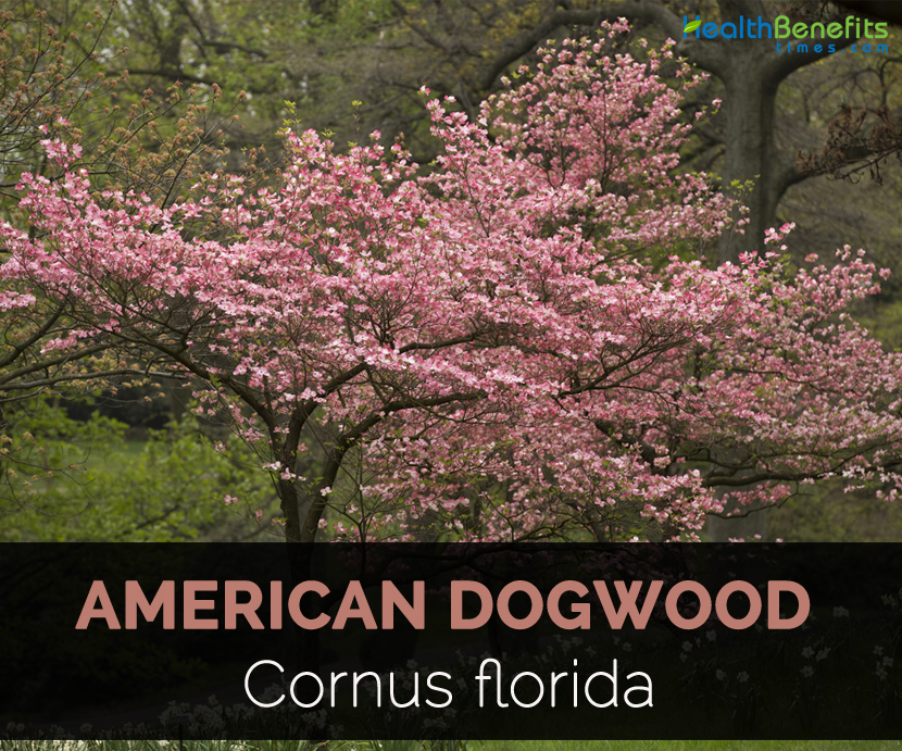 American Dogwood Facts And Uses