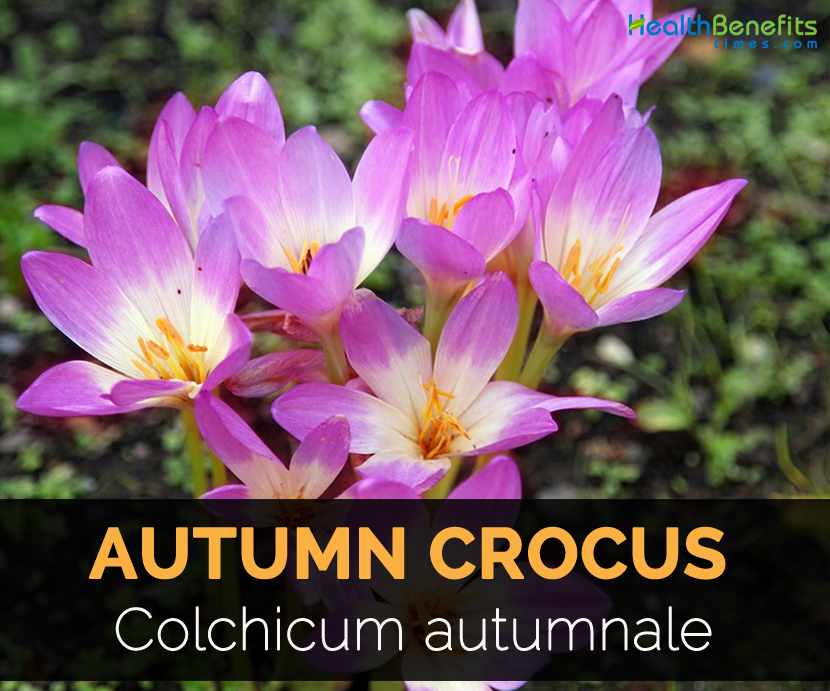Autumn Crocus Facts And Health Benefits