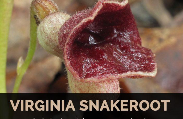 Tình yêu cây cỏ ĐV2 - Page 15 Main-image-of-Virginia-snakeroot-1-702x459
