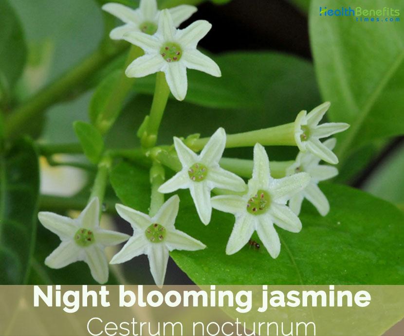 Plant de Dame de Nuit Jessamine Jasmin Cestrum Nocturnum Night Blooming Jasmine