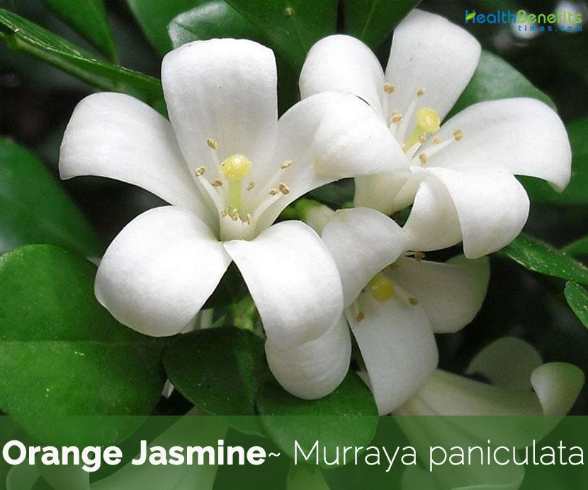 Health Benefits Of Orange Jasmine